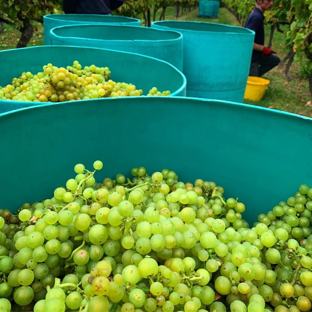 Grape Harvest - Biddenden Vineyards