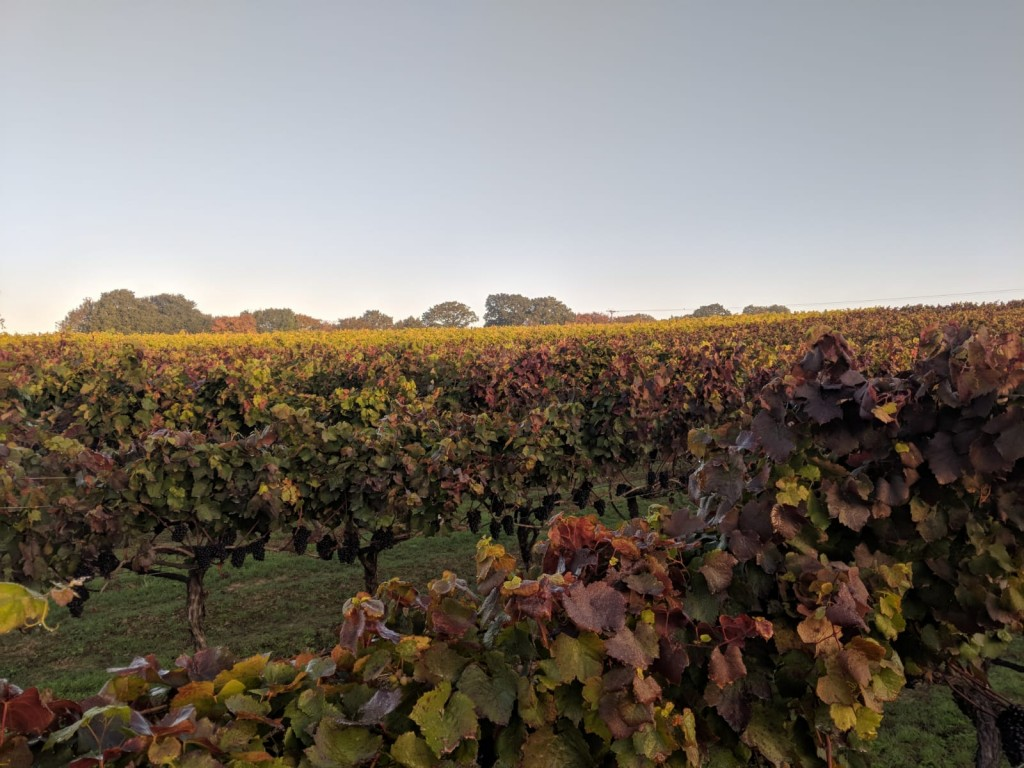 Autumn over Gamay still to be picked & on to Ortega in background