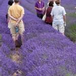 Crispin-Lavender.jpg2_