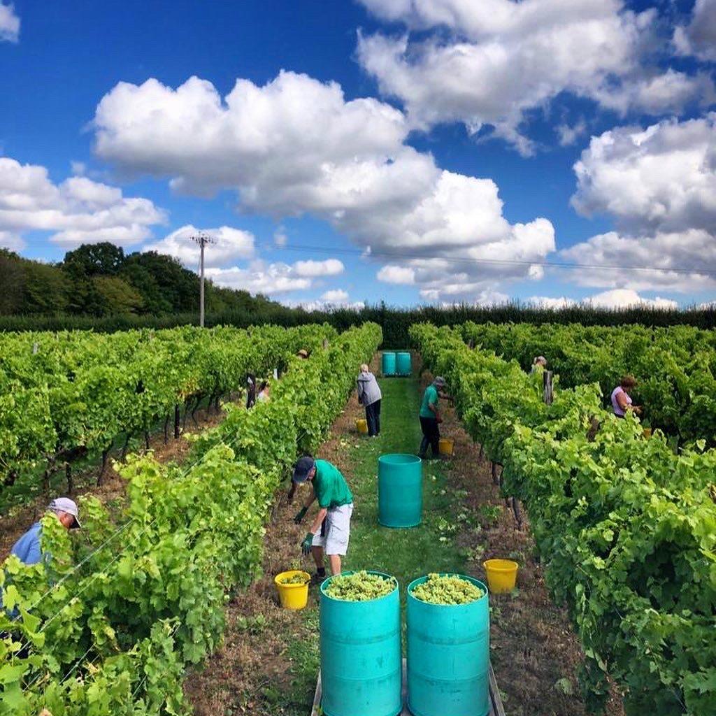 Harvest 2020 at Biddenden Vineyard