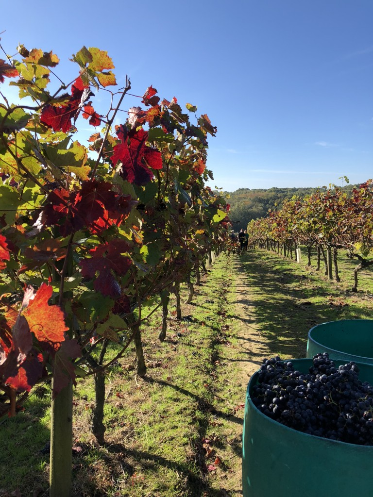 Gamay being harvested at Biddenden Autumn 2018
