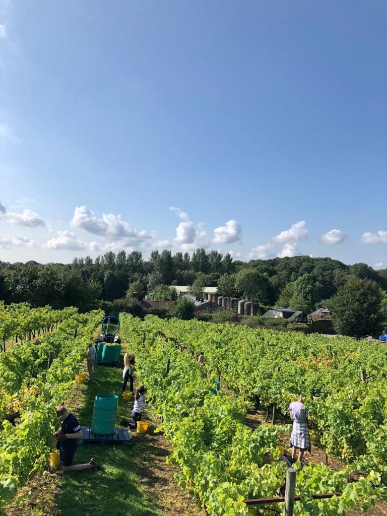 Picking Ortega at Biddenden Harvest 2018