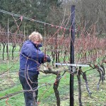 Pruning done at Biddenden Vineyards