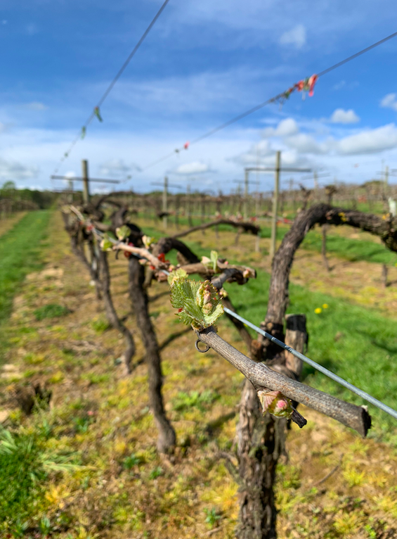 bud burst at Biddenden