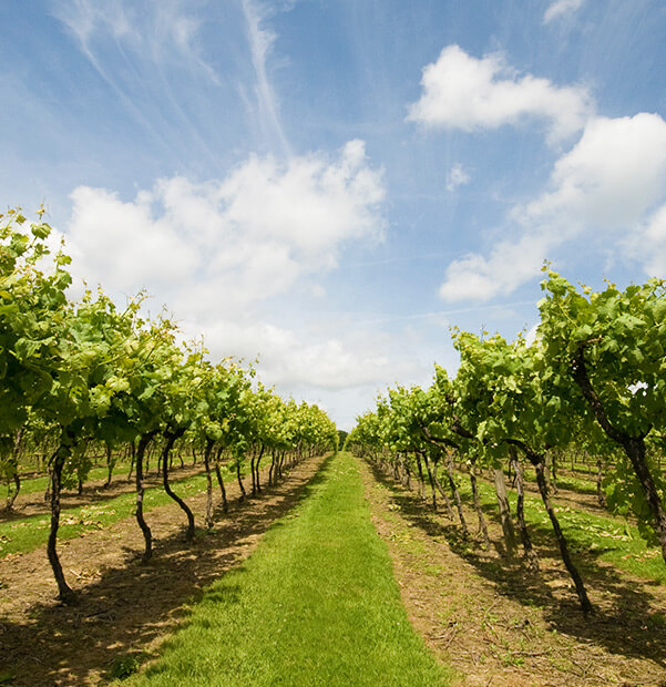 Beautiful Biddenden Vineyards in Kent